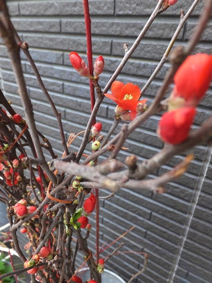 オークリーフ(赤い木瓜)_f0049672_12060592.jpg