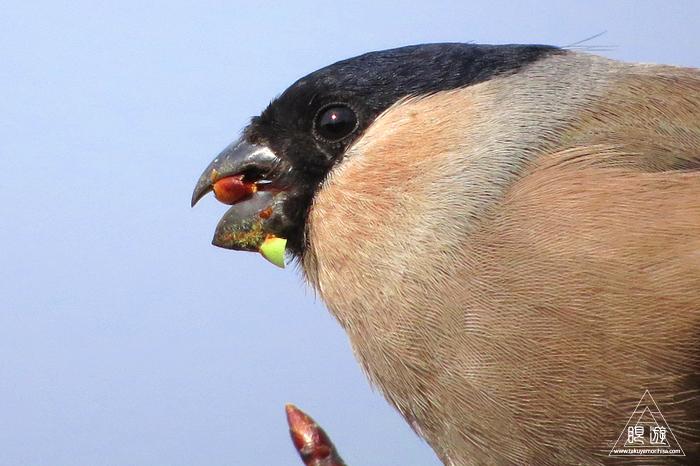 570 美保関町 ~ウソという名前の鳥~_c0211532_09550481.jpg