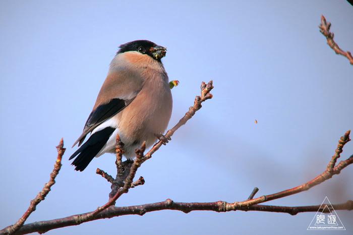 570 美保関町 ~ウソという名前の鳥~_c0211532_11064819.jpg