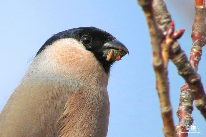 570 美保関町 ~ウソという名前の鳥~_c0211532_11064954.jpg