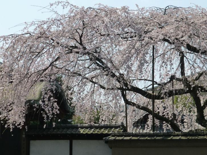 京都観桜編(13):京都御所(15.3)_c0051620_180417.jpg