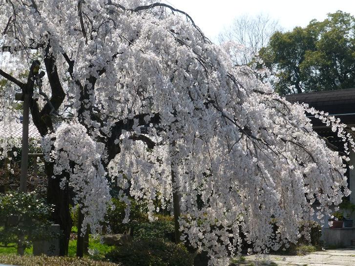 京都観桜編(13):京都御所(15.3)_c0051620_180556.jpg