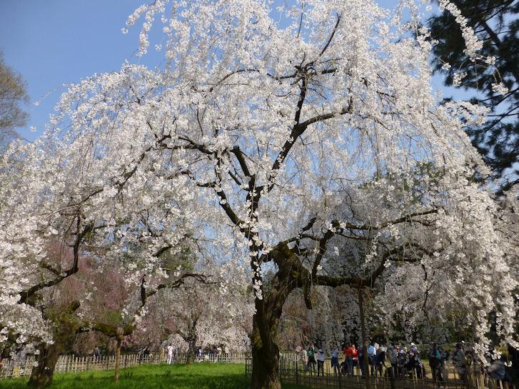 京都観桜編(13):京都御所(15.3)_c0051620_1825135.jpg