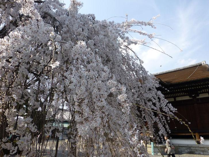 京都観桜編(14):千本釈迦堂(15.3)_c0051620_2073277.jpg