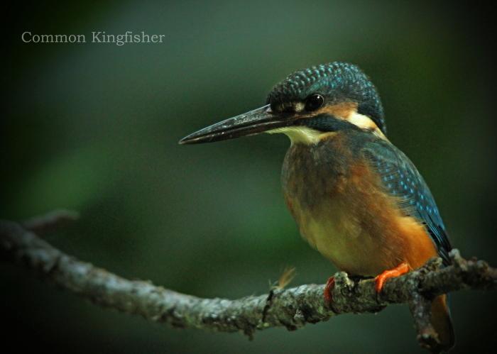 カワセミ:Common kingfisher_b0249597_06450416.jpg