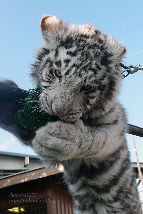 2016.1.3 那須サファリパーク☆ホワイトタイガーのマハロ<前編>【White tiger】_f0250322_19325957.jpg