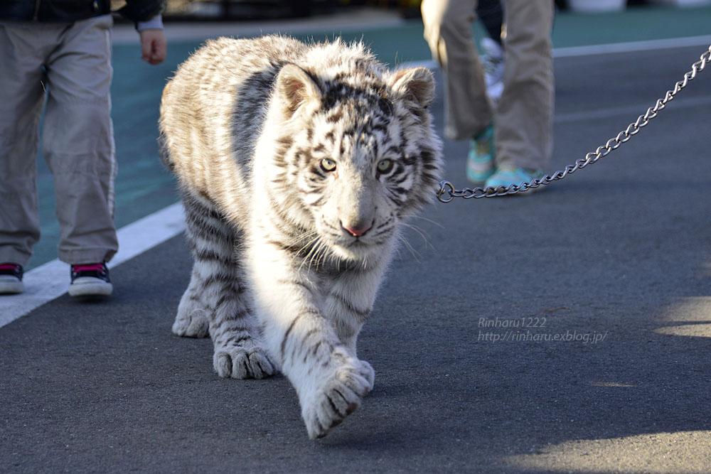 2016.1.3 那須サファリパーク☆ホワイトタイガーのマハロ<前編>【White tiger】_f0250322_1933129.jpg