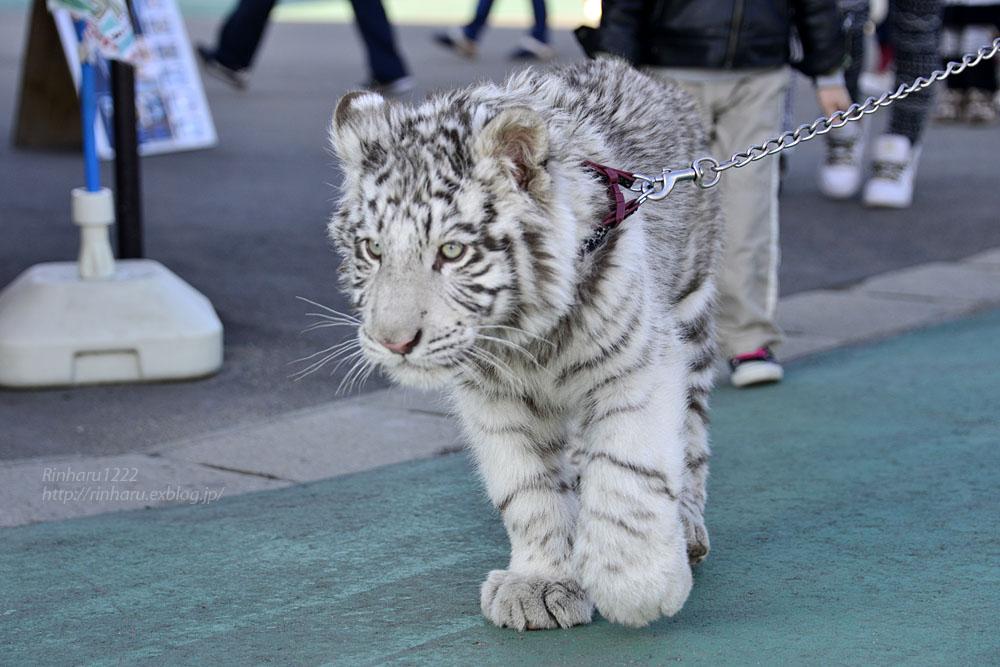 2016.1.3 那須サファリパーク☆ホワイトタイガーのマハロ<前編>【White tiger】_f0250322_1933175.jpg