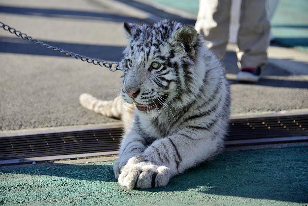 2016.1.3 那須サファリパーク☆ホワイトタイガーのマハロ<前編>【White tiger】_f0250322_19332148.jpg