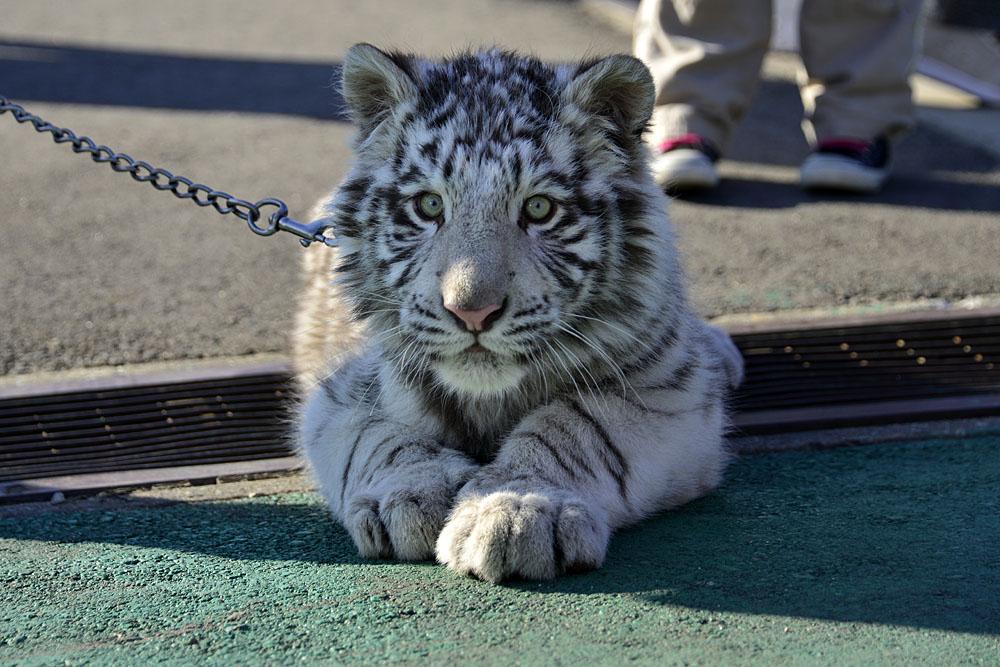 2016.1.3 那須サファリパーク☆ホワイトタイガーのマハロ<前編>【White tiger】_f0250322_19332657.jpg