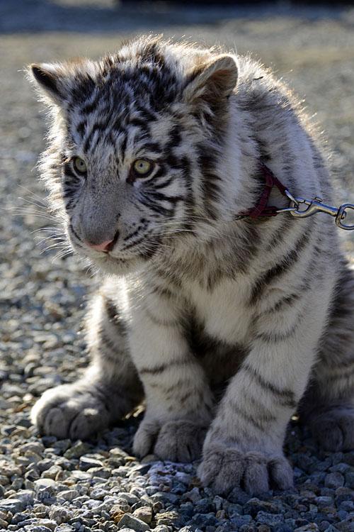 2016.1.3 那須サファリパーク☆ホワイトタイガーのマハロ<前編>【White tiger】_f0250322_19333654.jpg