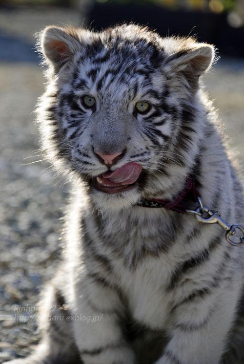 2016.1.3 那須サファリパーク☆ホワイトタイガーのマハロ<前編>【White tiger】_f0250322_19334059.jpg