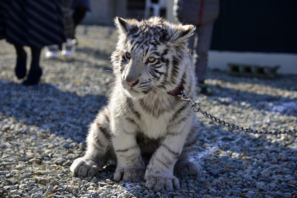2016.1.3 那須サファリパーク☆ホワイトタイガーのマハロ<前編>【White tiger】_f0250322_19334499.jpg