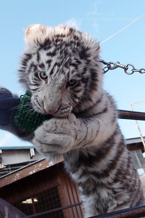 2016.1.3 那須サファリパーク☆ホワイトタイガーのマハロ<前編>【White tiger】_f0250322_193347.jpg