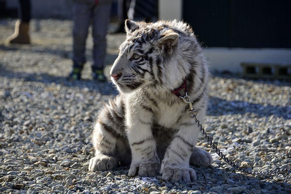 2016.1.3 那須サファリパーク☆ホワイトタイガーのマハロ<前編>【White tiger】_f0250322_19335012.jpg