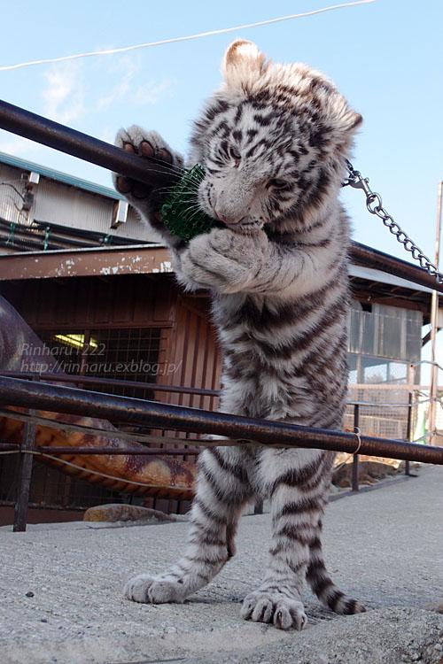 2016.1.3 那須サファリパーク☆ホワイトタイガーのマハロ<前編>【White tiger】_f0250322_1933727.jpg