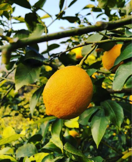 日本の有名バーテンダーが惚れ抜いたレモン!_f0215324_13312757.jpg