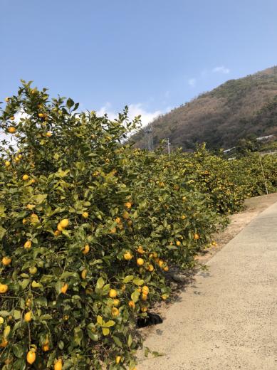 日本の有名バーテンダーが惚れ抜いたレモン!_f0215324_13321538.jpg