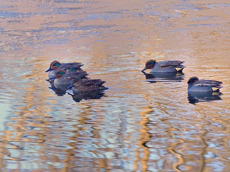 朝日の湖面のコガモたち_a0204089_6232964.jpg