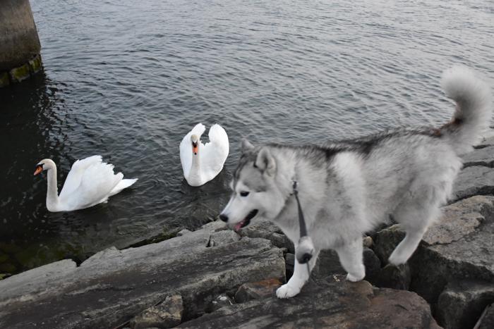 むぎゅ!のジロちゃん と 大淀川の白鳥 (*^_^*)_c0049299_20081937.jpg
