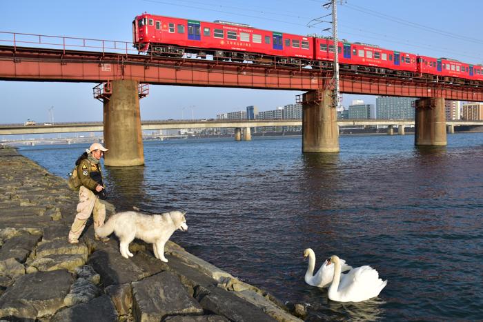 むぎゅ!のジロちゃん と 大淀川の白鳥 (*^_^*)_c0049299_20222950.jpg