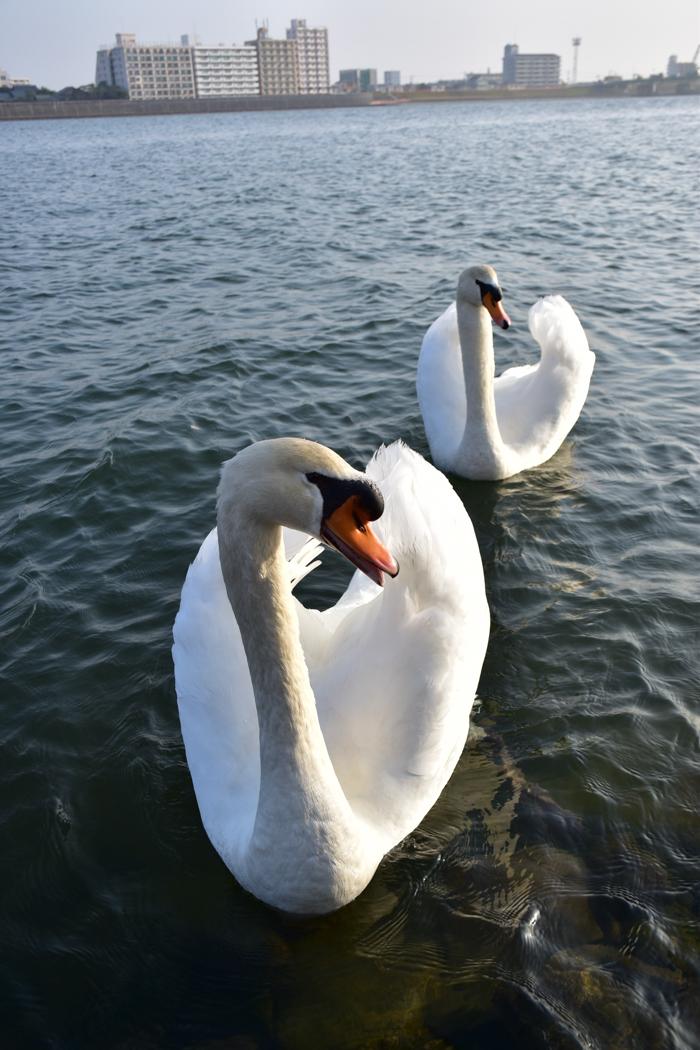 むぎゅ!のジロちゃん と 大淀川の白鳥 (*^_^*)_c0049299_20224620.jpg