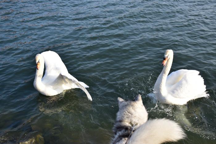 むぎゅ!のジロちゃん と 大淀川の白鳥 (*^_^*)_c0049299_20233101.jpg