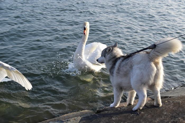 むぎゅ!のジロちゃん と 大淀川の白鳥 (*^_^*)_c0049299_20235345.jpg