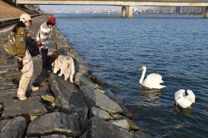 むぎゅ!のジロちゃん と 大淀川の白鳥 (*^_^*)_c0049299_20242110.jpg