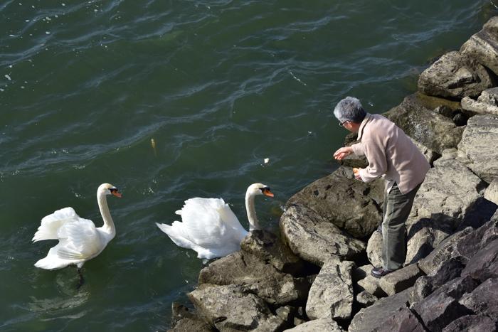 むぎゅ!のジロちゃん と 大淀川の白鳥 (*^_^*)_c0049299_20290712.jpg