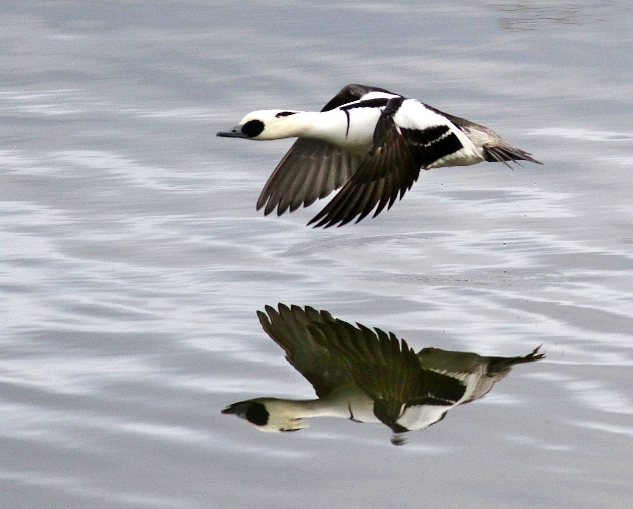 ミコアイサの飛翔を・・・_c0213607_18062640.jpg