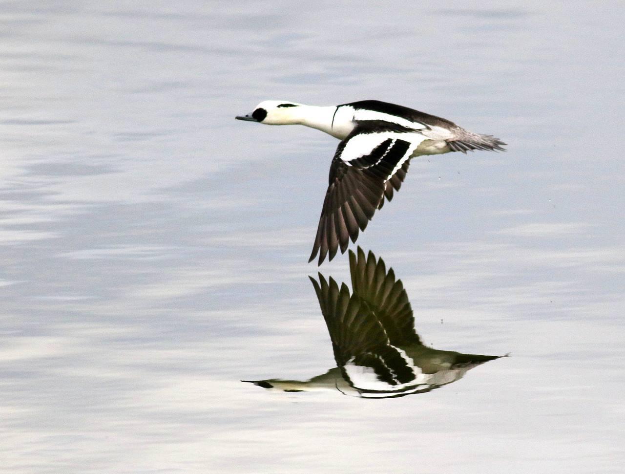 ミコアイサの飛翔を・・・_c0213607_18063537.jpg