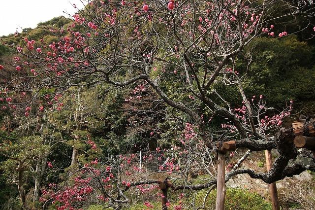 長楽寺の紅梅開花 (その1)(撮影:1月25日)_e0321325_19010631.jpg
