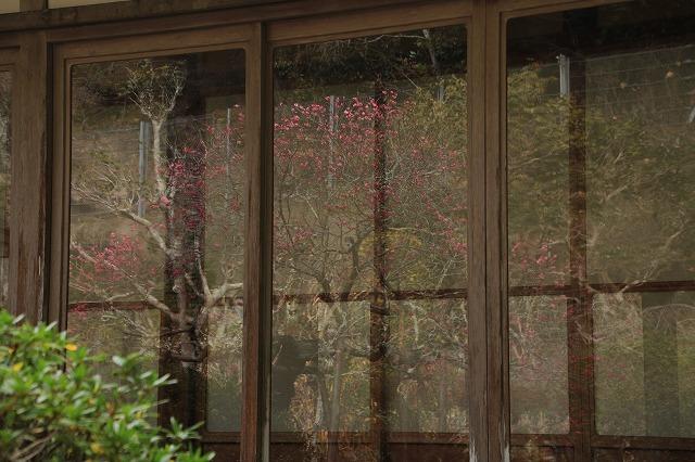 長楽寺の紅梅開花 (その1)(撮影:1月25日)_e0321325_19063368.jpg