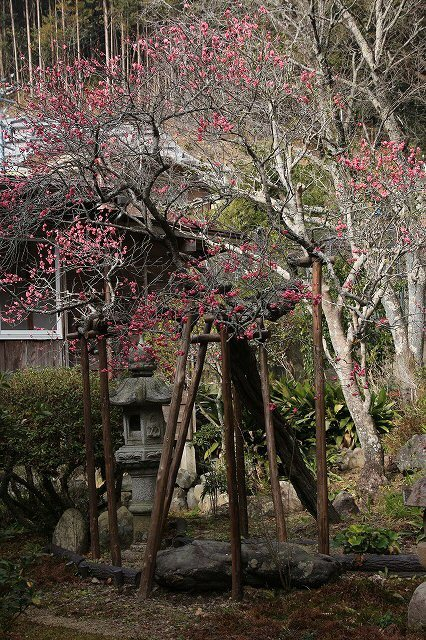 長楽寺の紅梅開花 (その1)(撮影:1月25日)_e0321325_19064744.jpg