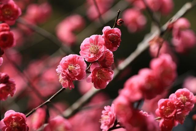 長楽寺の紅梅開花 (その1)(撮影:1月25日)_e0321325_19070152.jpg