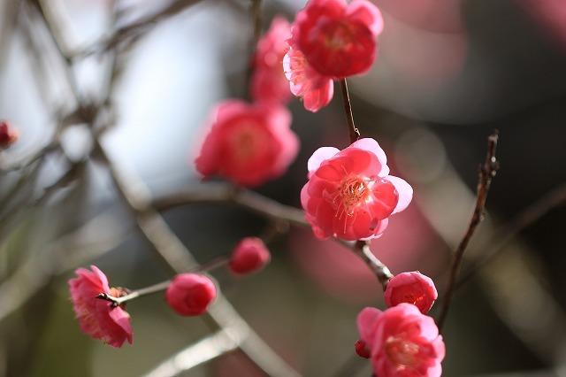 長楽寺の紅梅開花 (その1)(撮影:1月25日)_e0321325_19080662.jpg