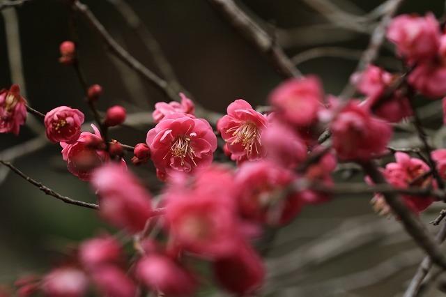 長楽寺の紅梅開花 (その1)(撮影:1月25日)_e0321325_19081897.jpg