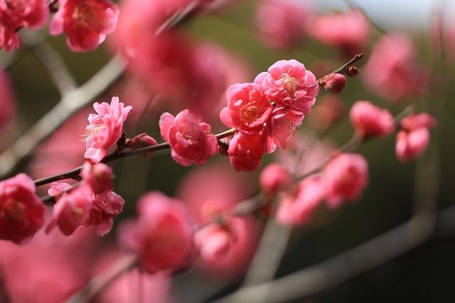 長楽寺の紅梅開花 (その1)(撮影:1月25日)_e0321325_19084563.jpg