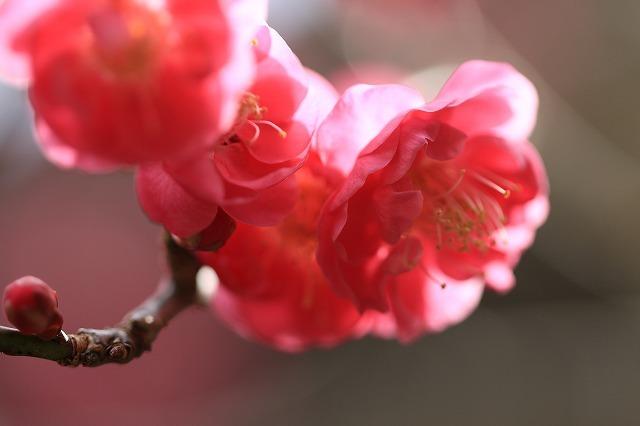 長楽寺の紅梅開花 (その1)(撮影:1月25日)_e0321325_19085802.jpg