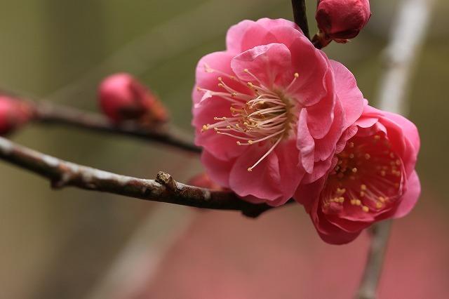 長楽寺の紅梅開花 (その1)(撮影:1月25日)_e0321325_19091282.jpg