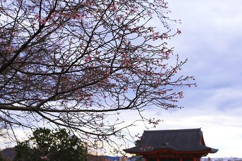 大寒桜_e0241944_22371230.jpg