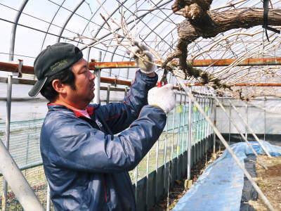 熊本ぶどう 社方園 剪定作業2018(後編 樹勢が良いので剪定した枝は良い音、良い色、重いんです)_a0254656_17325036.jpg