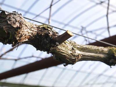 熊本ぶどう 社方園 剪定作業2018(後編 樹勢が良いので剪定した枝は良い音、良い色、重いんです)_a0254656_17351893.jpg