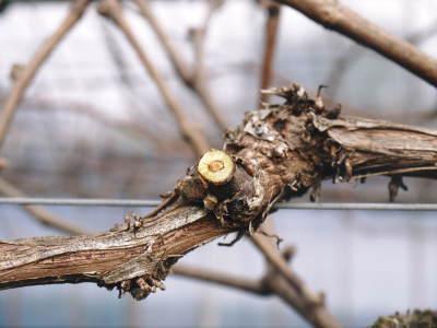 熊本ぶどう 社方園 剪定作業2018(後編 樹勢が良いので剪定した枝は良い音、良い色、重いんです)_a0254656_17564291.jpg