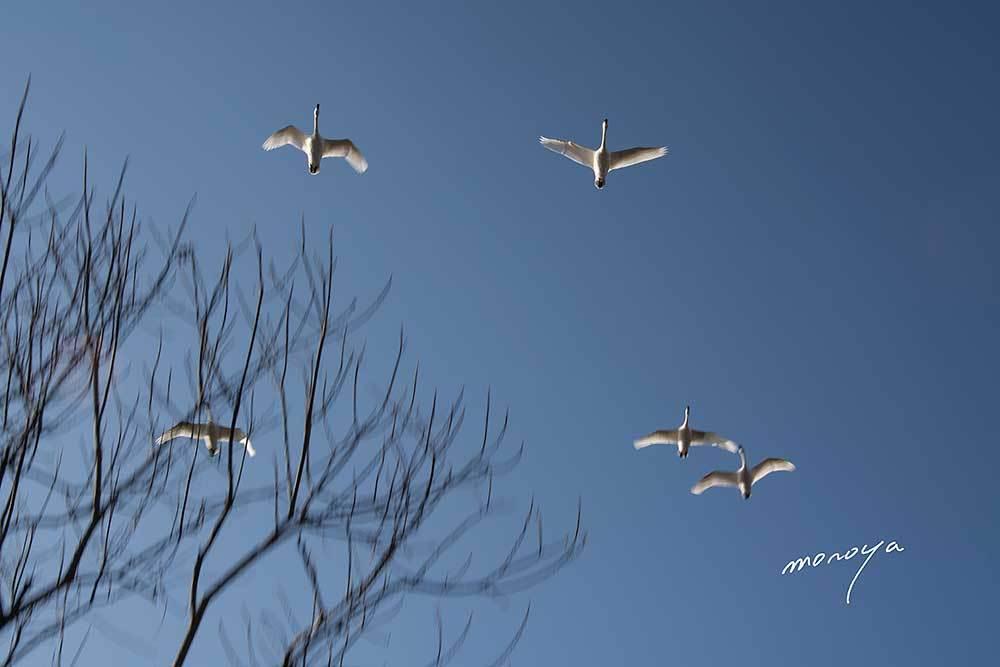 白鳥の湖_c0085877_06233442.jpg