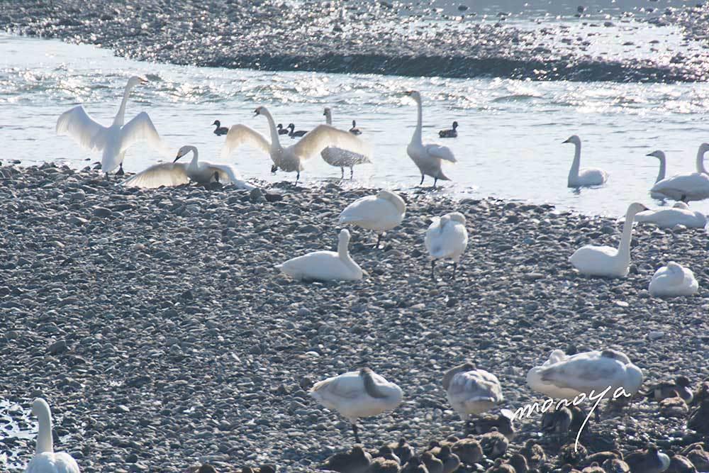白鳥の湖_c0085877_06240006.jpg