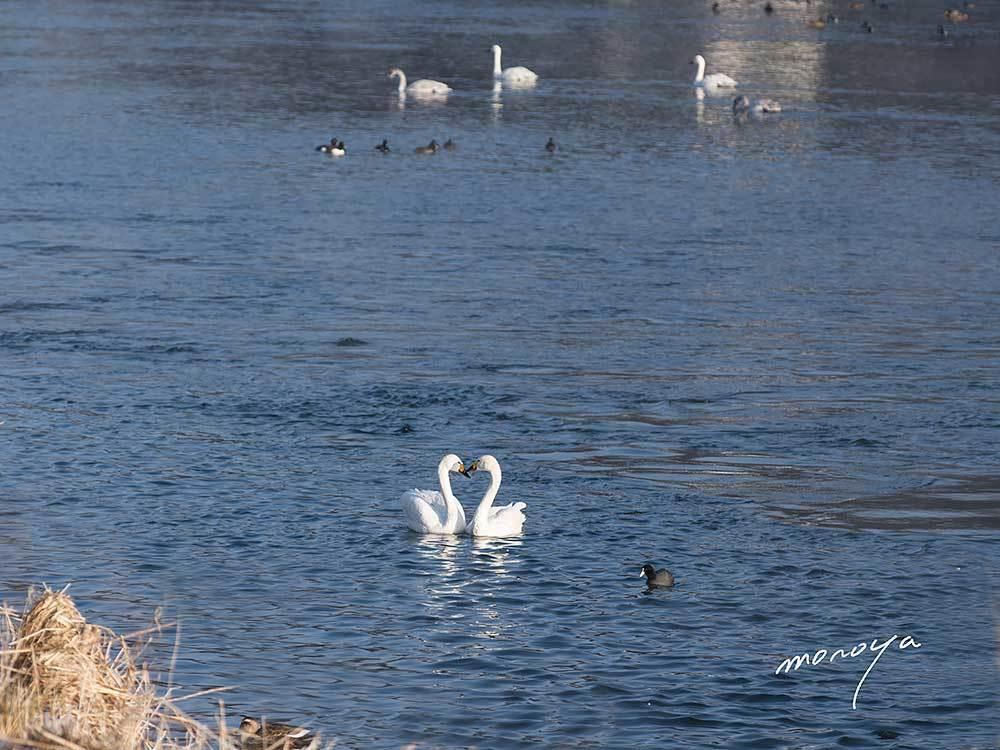 白鳥の湖_c0085877_06241547.jpg