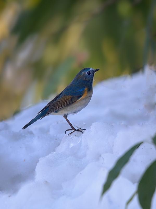 雪とルリビタキ_a0204089_651152.jpg