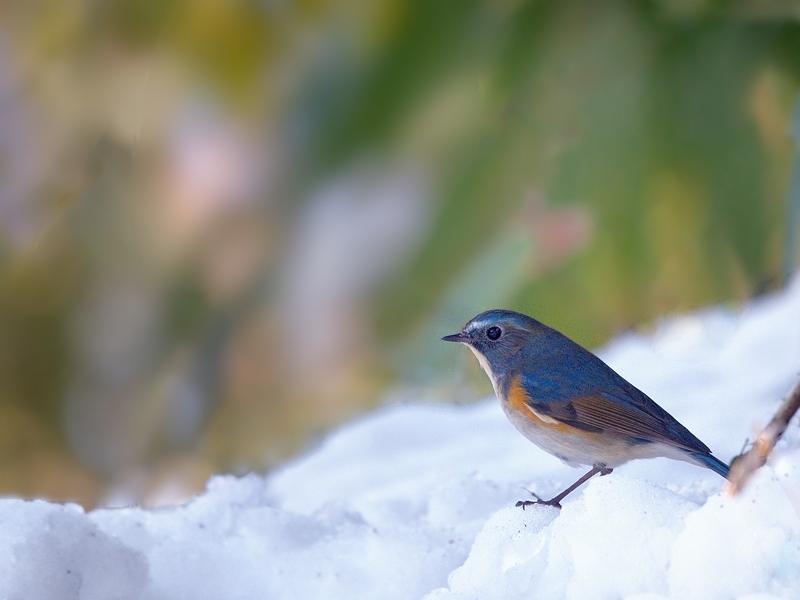 雪とルリビタキ_a0204089_653181.jpg